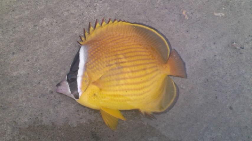 h24,8,29蝶々魚.jpg