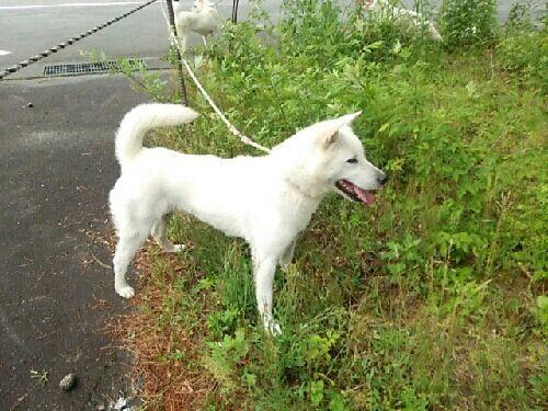 紀州犬の画像 p1_30