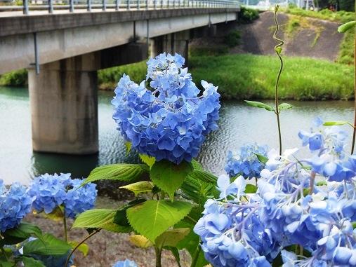 後川のアジサイ.jpg