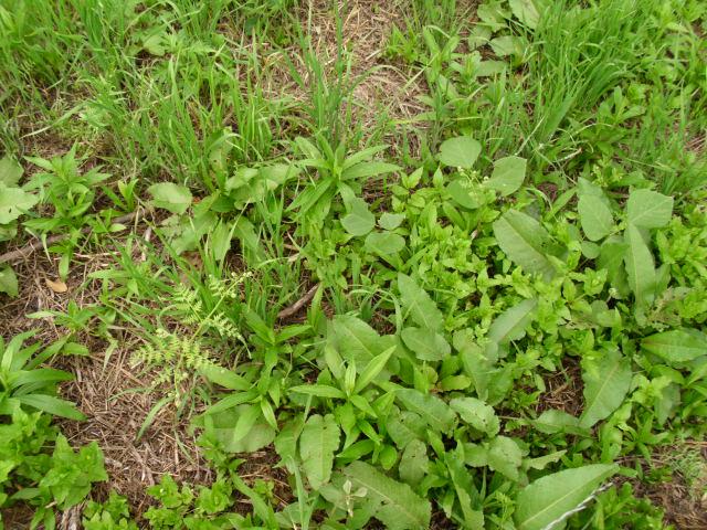 陸稲を蒔いた区画20120601
