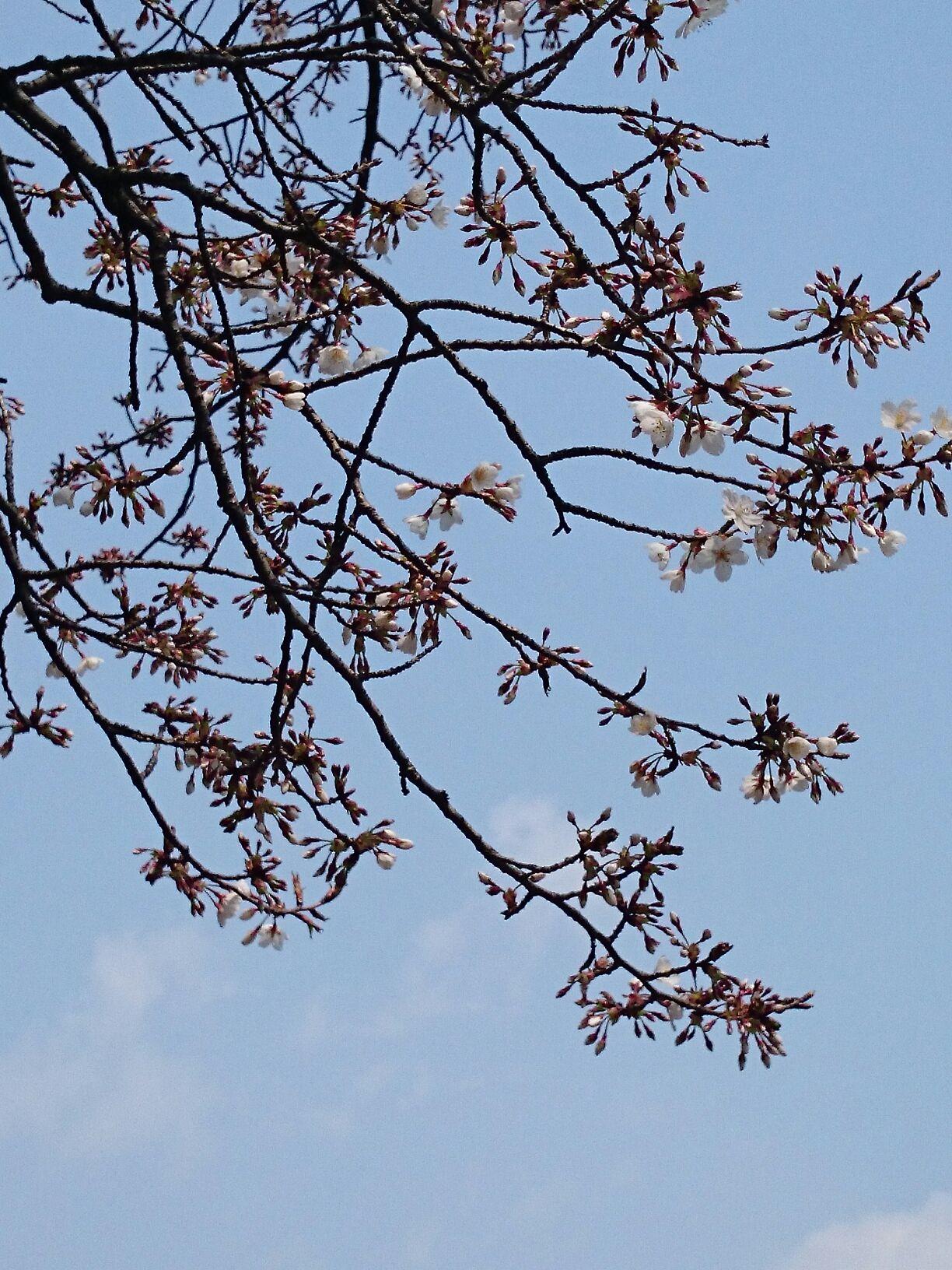 3月22日の桜.jpg
