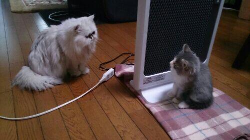 保護 猫 マンチカン