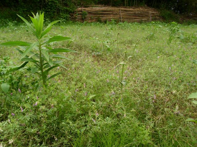 小さい畑のヘアリーベッチ20120617