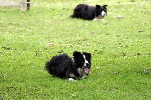 ボーヤファーム 牧羊犬