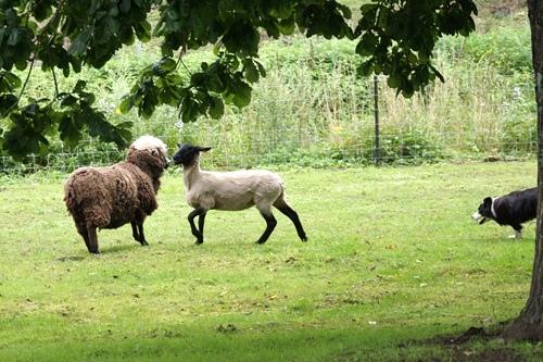 サフォーク羊 毛刈り前 毛刈り後