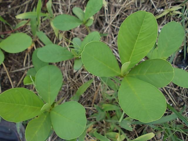 庭のクロタラリア20120723