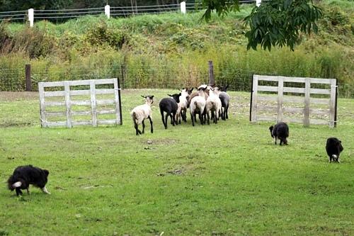 Sheepdog show BOYA FARM