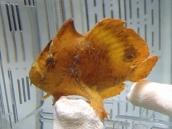 Brackish Water frogfish45 ブラキッシュウォーターフロッグフィッシュ(Antennarius biocellatus)