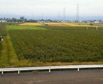 収穫が終わった田んぼの一角に残った大豆畑