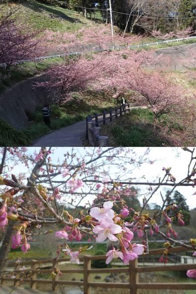 南房総の桜