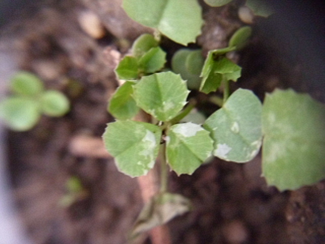 庭の白クローバー20120608