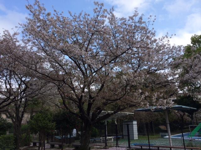 桜__ 2.JPG
