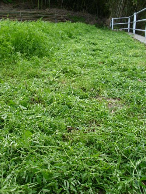 小さな畑のヘアリーベッチ20120505