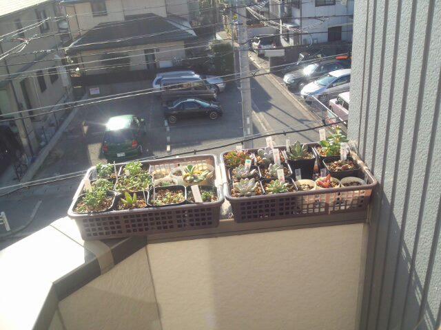 多肉植物 日光浴