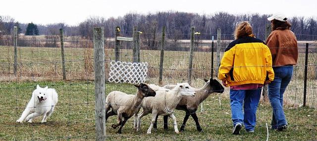0415 Windy SheepHerding03.jpg