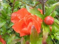 6月3日の誕生花 ザクロ(石榴、柘榴)の花言葉「成熟した美