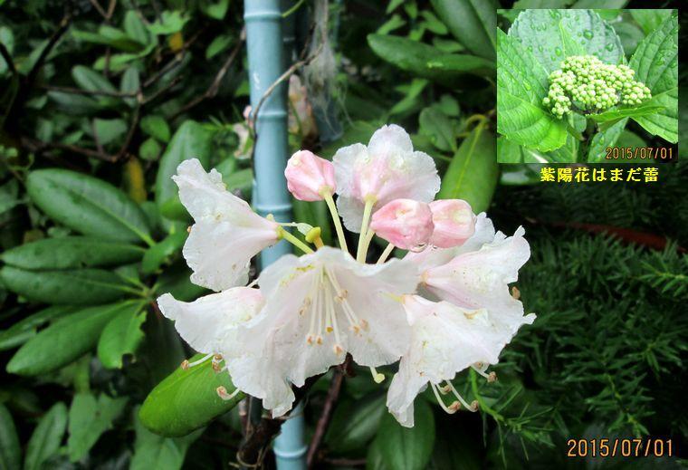7/1石楠花が咲いた.jpg