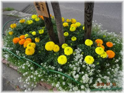 此方のマリーゴールドは野菜コーナーの虫除け用として鉢と鉢の間に植えています。