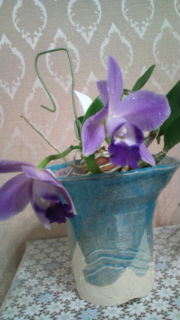 Lc. Mini Purple fma. coerulea 'Hitomi' 20120714