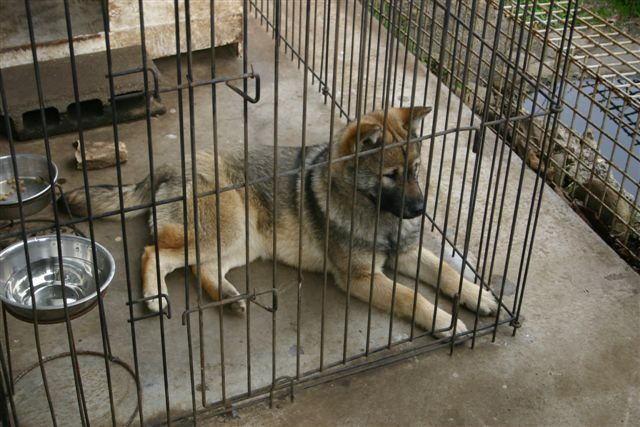 紀州犬の画像 p1_3