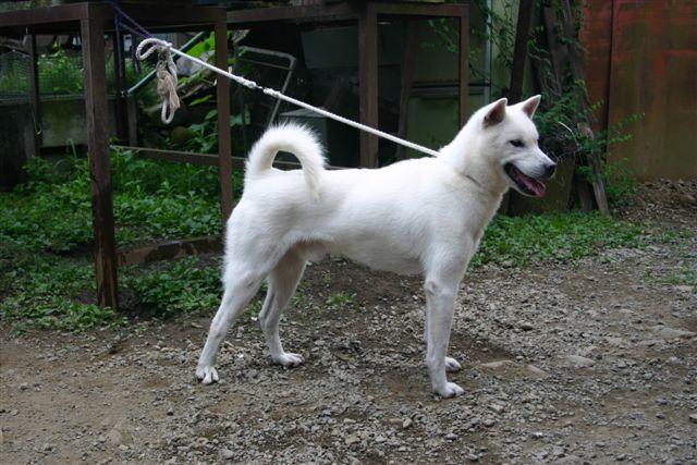 紀州犬の画像 p1_17