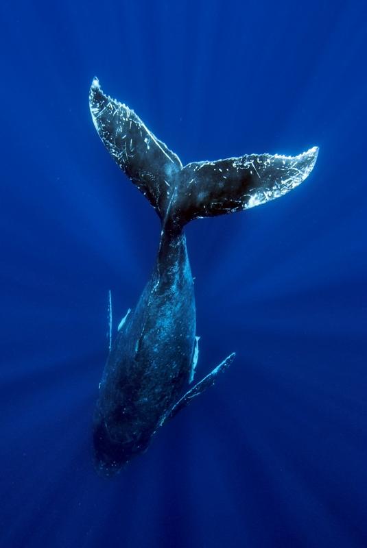 ザトウクジラの画像 p1_37