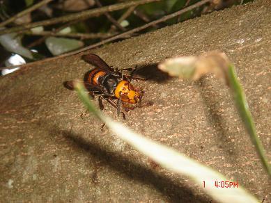 オオスズメバチ ↑カシの木に飛来したオオスズメバチ。<徳島県、神山町> ↑静かな里山に... 昆