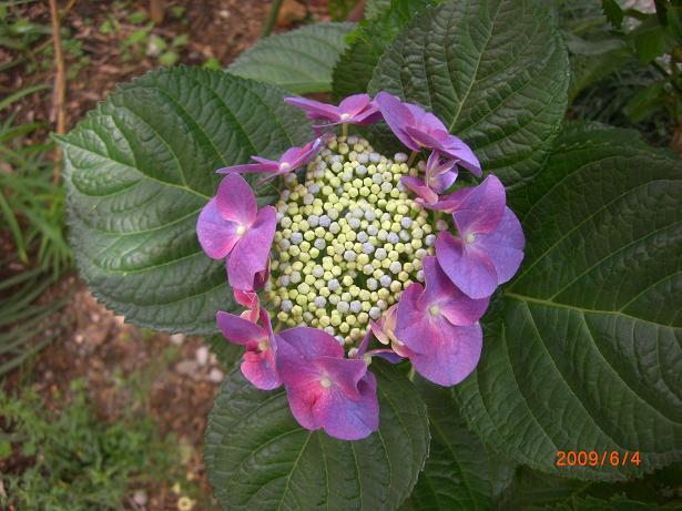 山紫陽花ー1