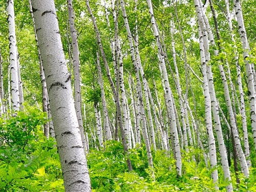 平庭高原と白樺林 平庭高原と白樺林 | 壁紙自然派 - 楽天ブログ