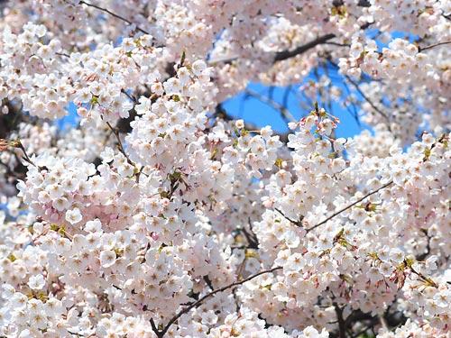 ソメイヨシノの画像 p1_28