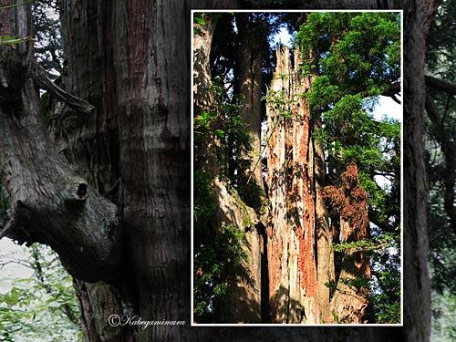 和賀仙人姥杉 壁紙をDLする 地図情報 【参考HP】 日本の巨樹・巨木の和賀仙人姥杉...  壁