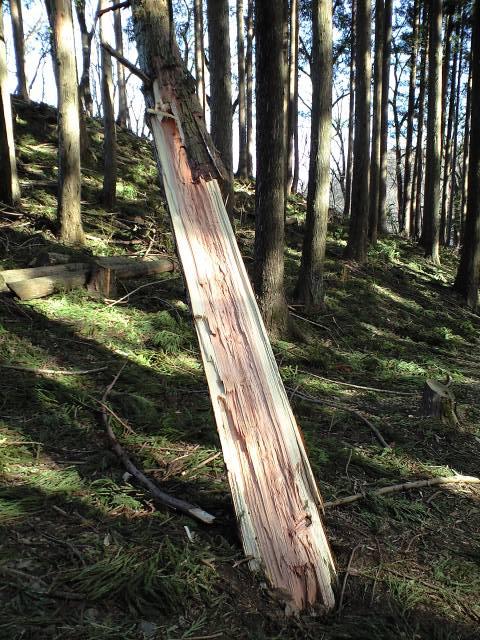 生木が裂けて転がっている
