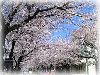 安部山の桜