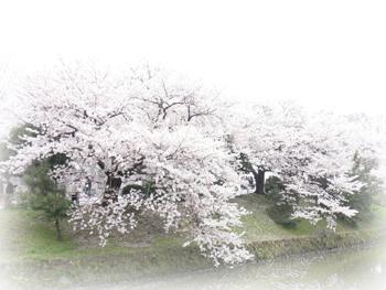桜2009_5