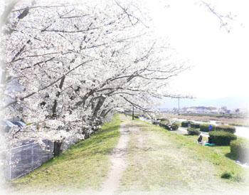 室見川桜1