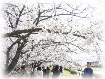 室見川桜2