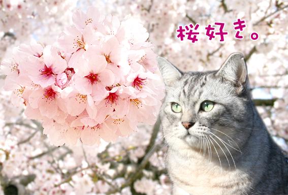 sakura-shima2.jpg