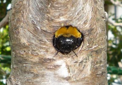 クマバチの画像 p1_10