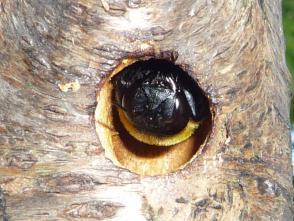 クマバチの画像 p1_32