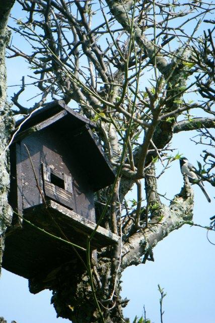 シジュウカラの営巣