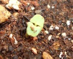ラベンダーの芽