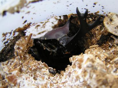 カブトムシの画像 p1_30