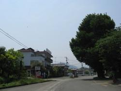 金子や前の大木.jpg