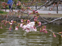 石神井公園 桜