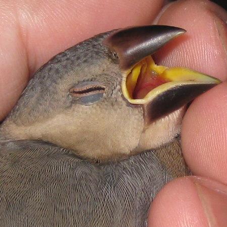 口 を 開ける 文鳥