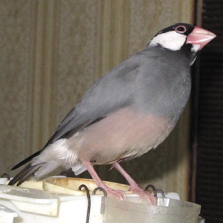 フン 文鳥