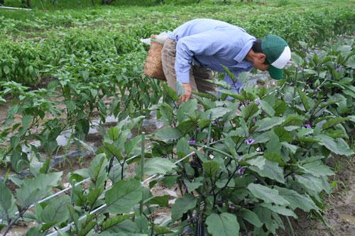 庄司さん茄子収穫.jpg