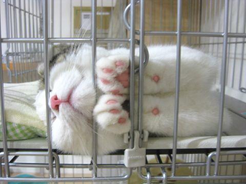 手を揃えて寝るネコ1