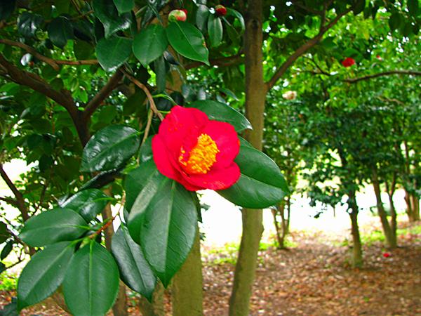椿 椿 椿☆小石川植物園 | E ...