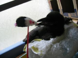 、ネズミじゃらしと遊ぶポー